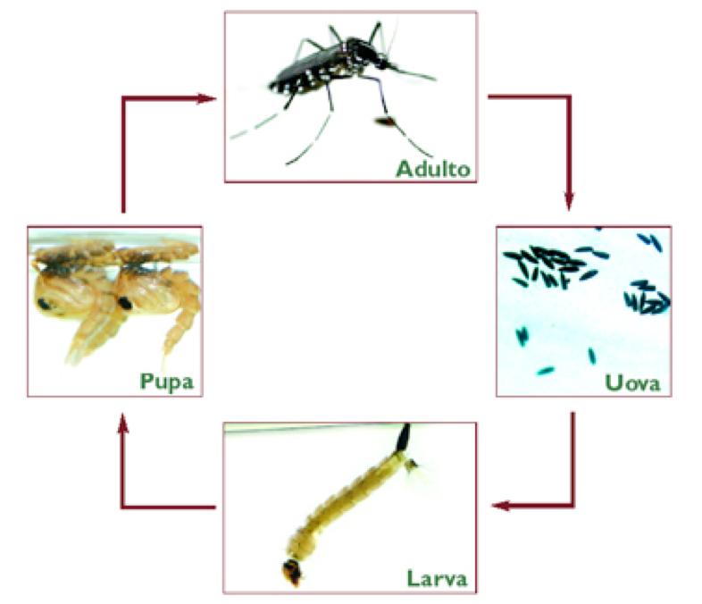 Il ciclo di vita della zanzare tigre